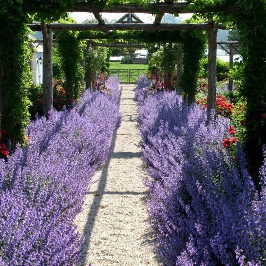 Russian Sage-Drought-Tolerant